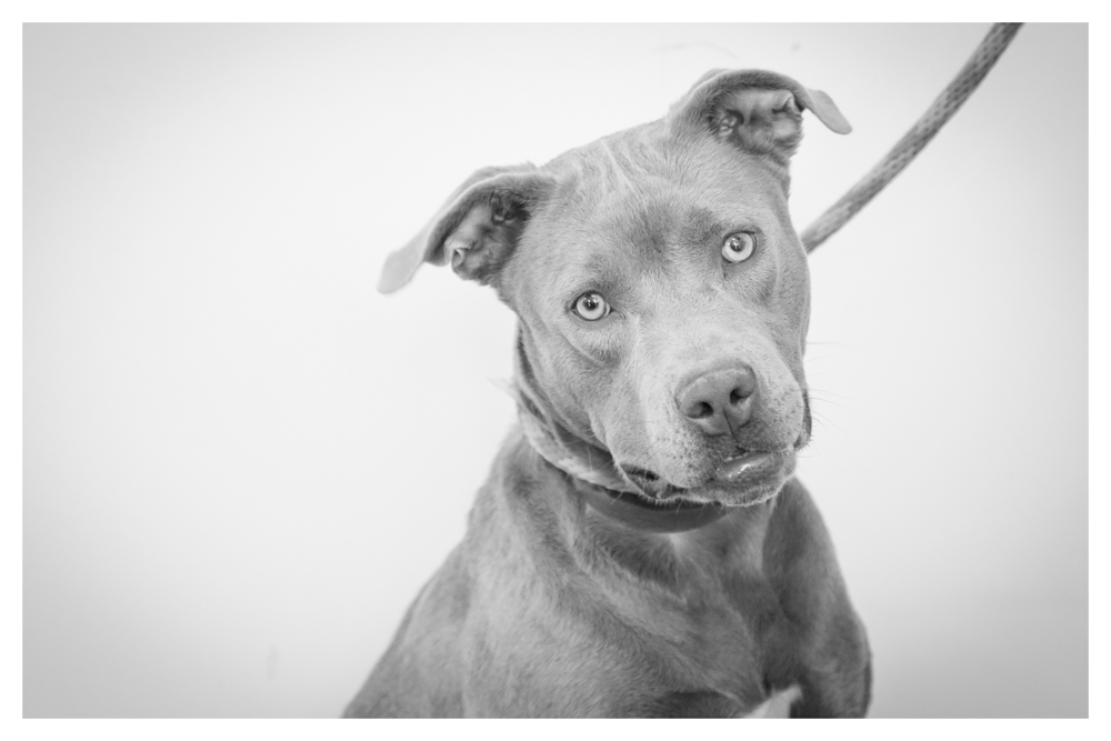 "Loyal A1699238 Owner surrender- female 2 years old. 47 pounds. Volunteer favorite! high energy and will make you laugh with her ""la loca"" eyes. Loves to play and gets along with other dogs!"