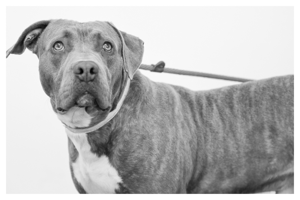 Eyor A1673736 Male 2 year old pittie who has been at the shelter since DECEMBER. Needs to get out! Still holding balls and was a stray. Eyor loves meeting new people!