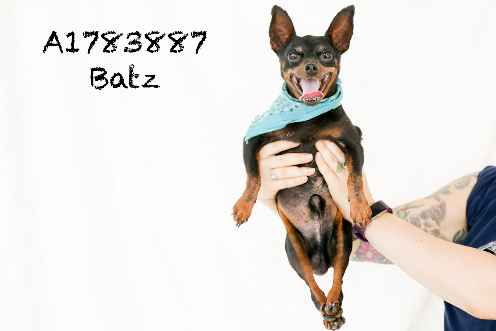 A1783887 Meet Batz! Batz is a ten-pound, ten-year-old Min Pin with a heck of a personality and a lot of love to give. He is in medical so he is away from the public's eye, but he is chipper and spritely as can be! Batz loves to lay in your arms like a baby, give kisses, eat treats, and receive butt scratches. He is super smiley and very friendly, and he can't wait to see you! Come see this babe at the South Los Angeles Animal Shelter (1850 W. 60th Street, 213-485-0303), and make yours that ever-deserving fur-ever home. Please share!