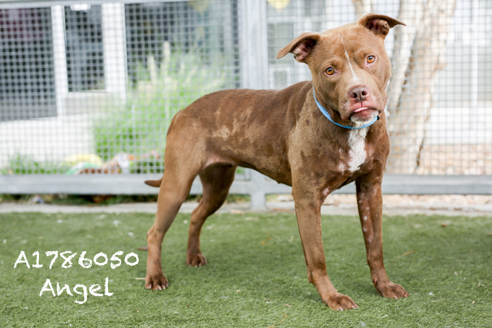 A1786050 Meet Angel! Angel is a four-year-old Pit who just can't wait to go home with you! She doesn't show well because the kennel makes her nervous and a tad aggressive, but as soon as she is out of that slammer and into the yard she is a different dog—an angel, even. Angel is super spunky, loves toys, and super sweet. Although she is back in medical, she has a great vibe and would make a great companion. Angel would do best in a medium-to-active home. Come see this babe at the South Los Angeles Animal Shelter (1850 W. 60th Street, 213-485-0303), and make yours that ever-deserving fur-ever home. Please share!