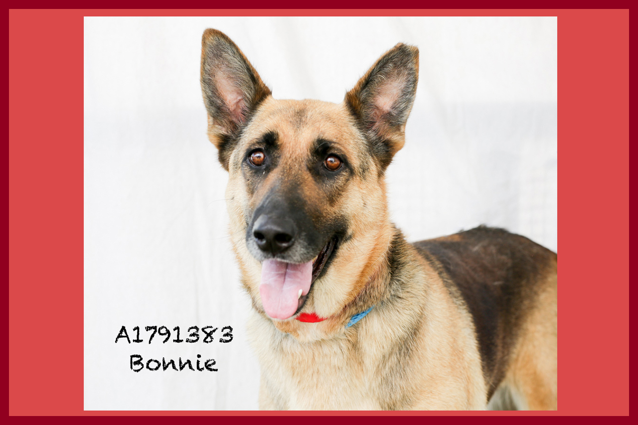 A1791383 Meet Bonnie! Bonnie is a three-year-old, 86-pound German Shepherd. She is back in medical dealing with a foot wound, but her spirits are high and her energy is great! Bonnie is a gentle giant and as sweet as can be. She is already spayed. Come see this babe at the South Los Angeles Animal Shelter (1850 W. 60th Street, 213-485-0303), and make yours that ever-deserving fur-ever home. Please share!