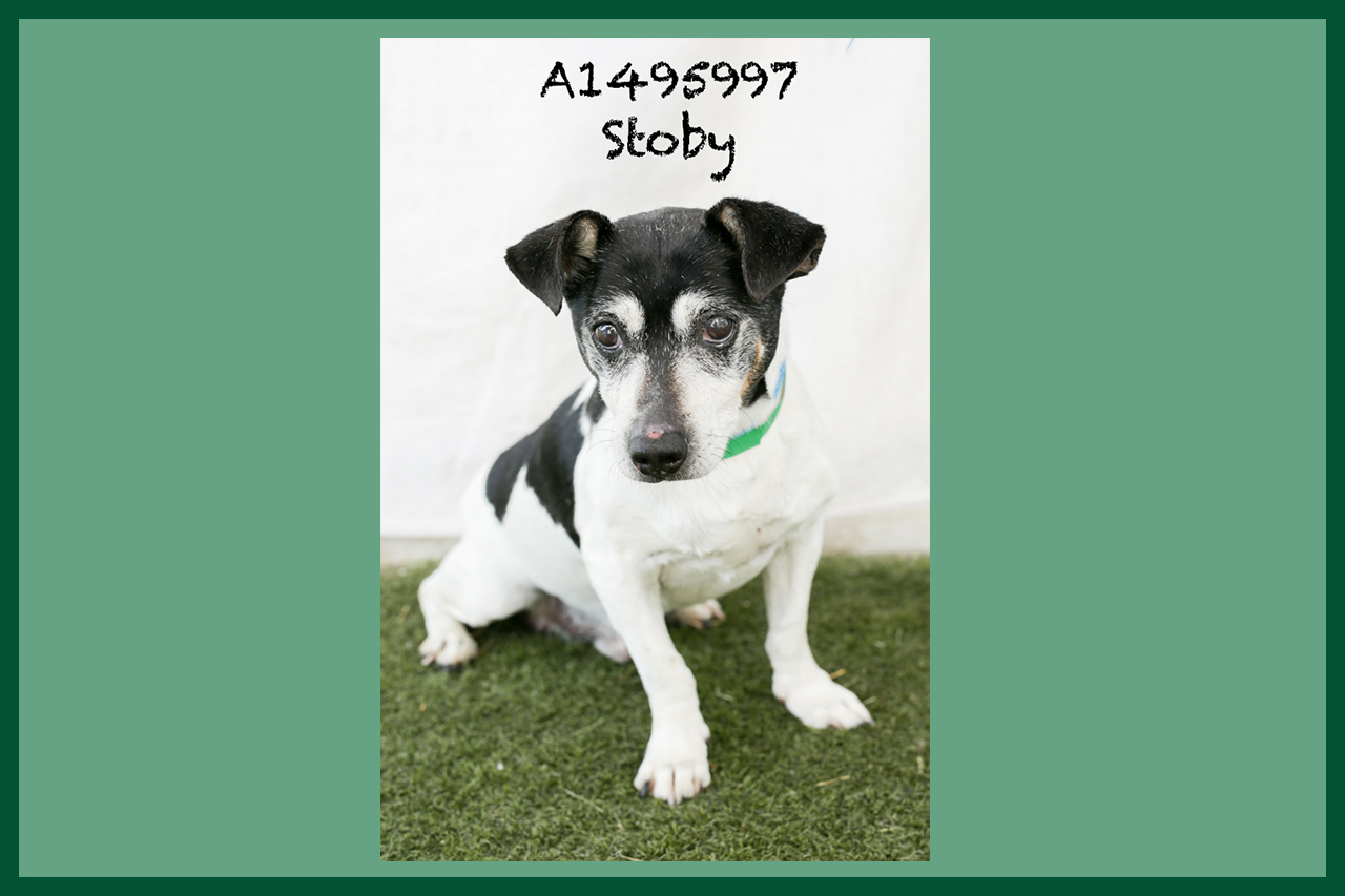 A1495997 Meet Stoby! Stoby is a 9-year-old Rat Terrier. He is already neutered, is as chill as they come, and would make a great lap/couch dog. He has been at the shelter since June 22, and he's ready to break free! Stoby is back in medical but available for adoption or foster! Come see this babe at the South Los Angeles Animal Shelter (1850 W. 60th Street, 213-485-0303), and make yours that ever-deserving fur-ever home. Please share!