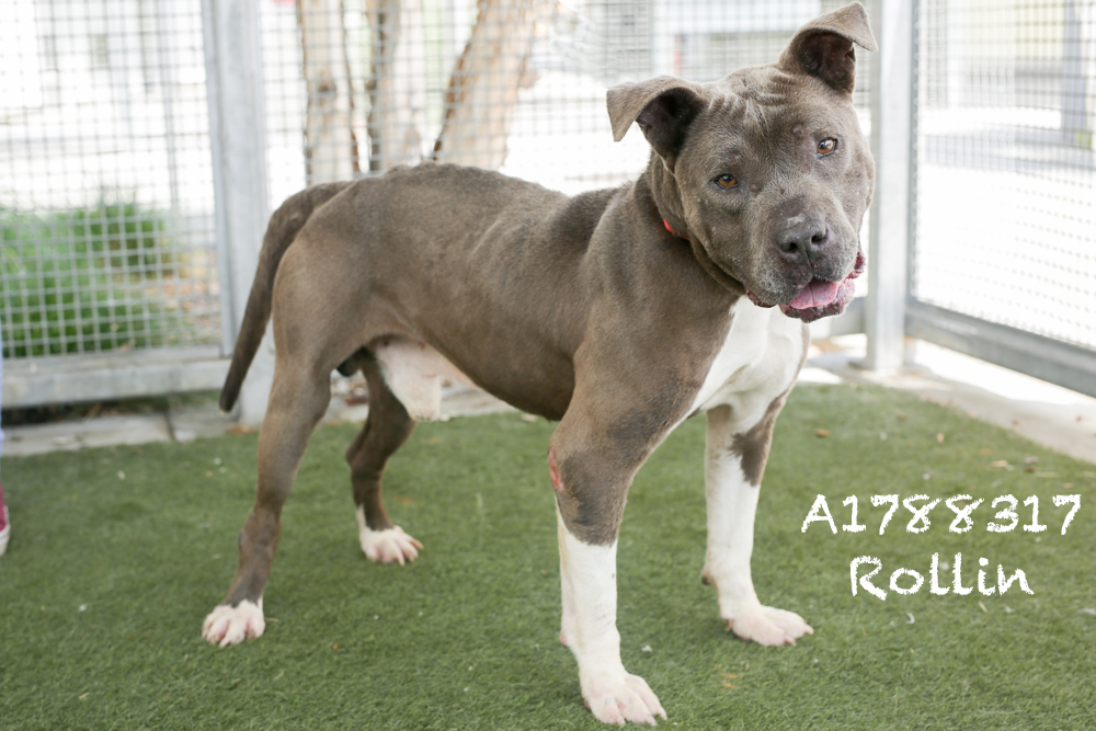 A1788317 Meet Rollin! Rollin is a six-year-old, 36-pound neutered Pit Bull. He is super shy but as sweet as can be. Rollin has a great, low energy, and he was kenneled with another dog previously so he likely does not need to be an only child. Come see this babe at the South Los Angeles Animal Shelter (1850 W. 60th Street, 213-485-0303), and make yours that ever-deserving fur-ever home. Please share!