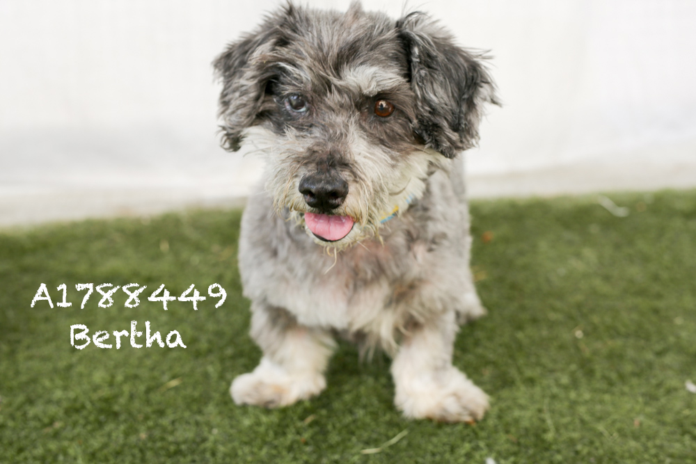 A1788449 Meet Bertha! Bertha is a 22-pound, spayed, ten-year-old Terrier Mix. She is back in medical where no one can see her, but boy is she a fast little whipper snapper! Bertha has a great personality and one of the wiggliest butts out there. She can't wait to meet you! Come see this babe at the South Los Angeles Animal Shelter (1850 W. 60th Street, 213-485-0303), and make yours that ever-deserving fur-ever home. Please share!