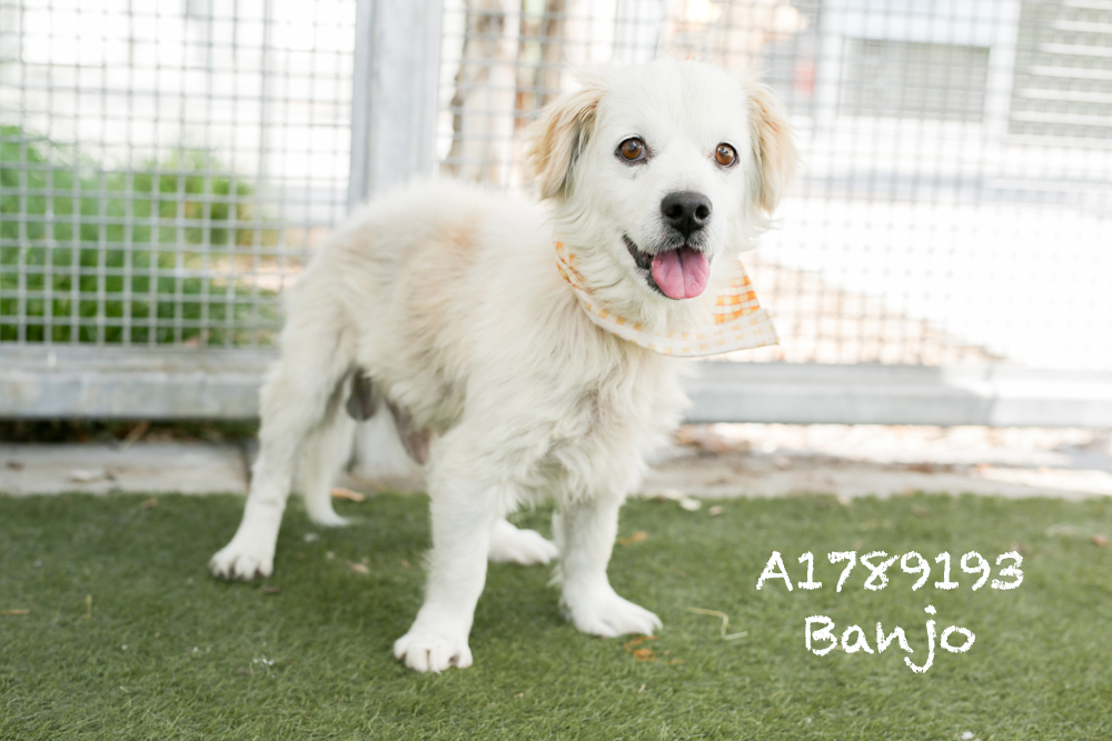 A1789193 Meet Banjo! Banjo is a Welsch Corgi Cardigan and he is eight years-old. Banjo has got the cutest ears and disposition. He is back in medical but is available for adoption or foster, and boy is he sweet as pie! Banjo truly is a dapper gent, and he will make anyone and everyone look good! Banjo will be neutered upon adoption. Come see this babe at the South Los Angeles Animal Shelter (1850 W. 60th Street, 213-485-0303), and make yours that ever-deserving fur-ever home. Please share!