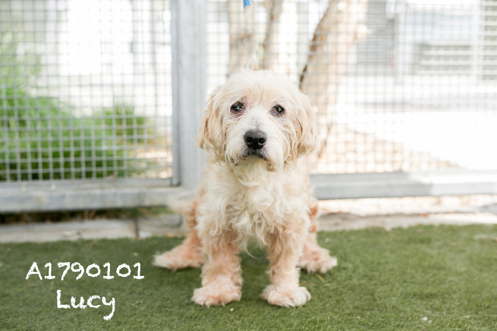 A1790101 Meet Lucy! Lucy is a 12-year-old Cocker Spaniel. She is super sweet, and although she has naturally sad eyes, her tail never stops wagging and she is super affectionate! Lucy loves to be scratched and will follow you around like a shadow. She is back in medical and already spayed! Come see this babe at the South Los Angeles Animal Shelter (1850 W. 60th Street, 213-485-0303), and make yours that ever-deserving fur-ever home. Please share!