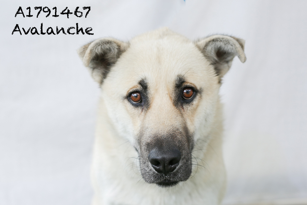 A1791467 Meet Avalanche! Avalanche is a German Shepherd/Akita mix. He weighs about 57 pounds and is only 2 years-old. Avalancha has a bum back leg, but it's in a cast and will be healed in no time! He is super friendly and mellow and would make a great family dog. Avalanche will be neutered upon adoption. Come see this babe at the South Los Angeles Animal Shelter (1850 W. 60th Street, 213-485- 0303), and make yours that ever-deserving fur-ever home. Please share!