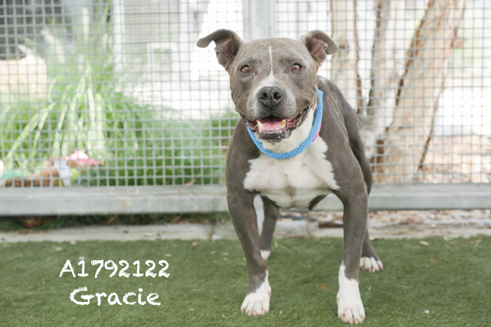 A1792122 Meet Gracie! This seven-year-old Pit is unbelievably sweet and shy, she is available now! Gracie has medium energy levels and is kenneled with another dog. Gracie weighs thirty seven pounds. She loves attention and would love a running partner!  Gracie would make a great family dog! She will be spayed once adopted! Come see this beauty at the South Los Angeles Animal Shelter (1850 W. 60th Street, 213-485- 0303), and make yours that ever-deserving fur-ever home. Please share!