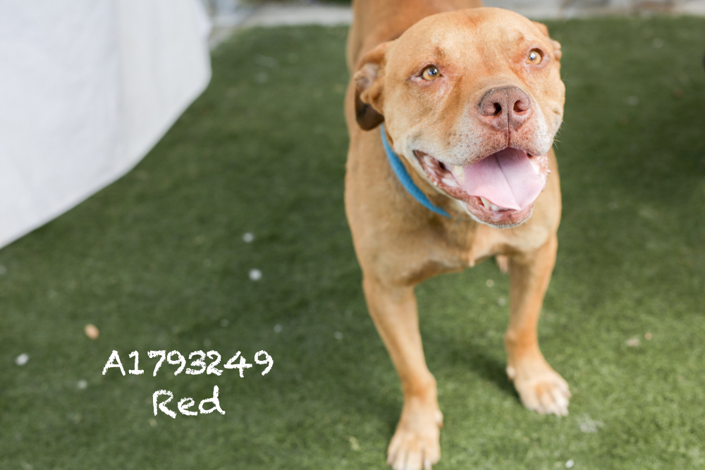 A1793249 Meet Red! This five-year-old Pit is unbelievably sweet and will be available July 12! He has a great low energy, and while he officially came in as a stray there is no doubt in our mind that he has lived with a family before. Red walks great on the leash and is responsive to commands. He loves attention and is super mellow. Red would make a great family dog, and he will be neutered upon adoption. Come see this babe at the South Los Angeles Animal Shelter (1850 W. 60th Street, 213-485- 0303), and make yours that ever-deserving fur-ever home. Please share!