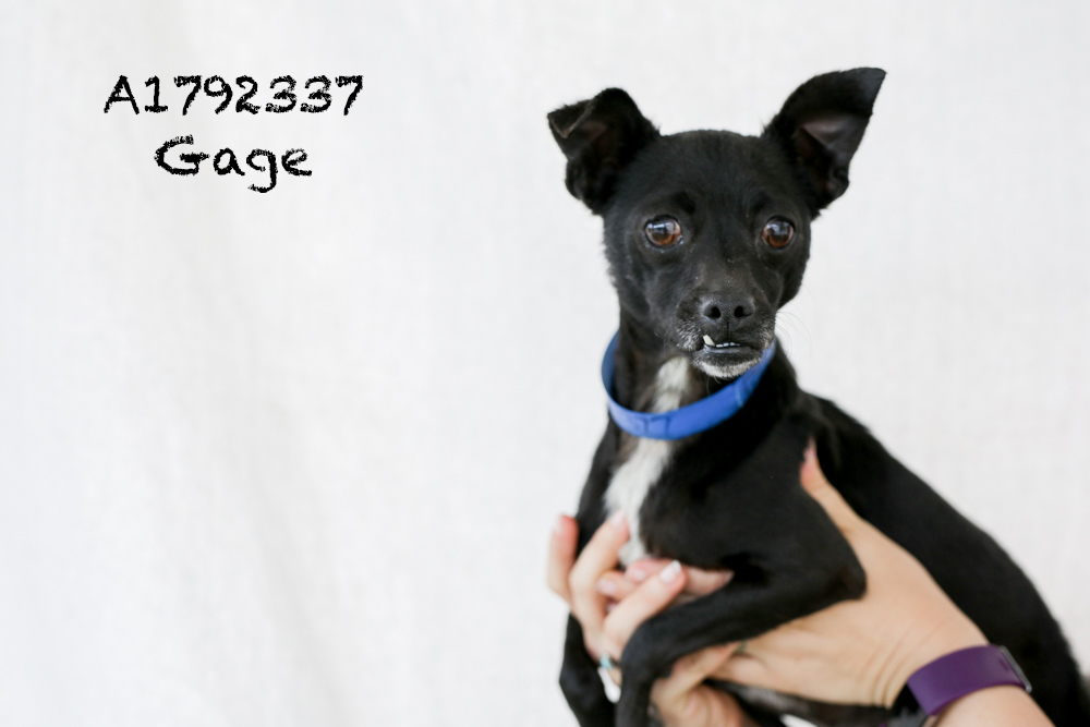 A1792377 Meet Gage! Gage is a five-year-old, nine-pound Chihuahua! He has a hip injury so is back in medical, but that doesn't stop him from following you around or taking treats! He is super cute with an adorable underbite. Gage is already neutered and would make a great addition to any home! Come see this babe at the South Los Angeles Animal Shelter (1850 W. 60th Street, 213-485-0303), and make yours that ever-deserving fur-ever home. Please share!