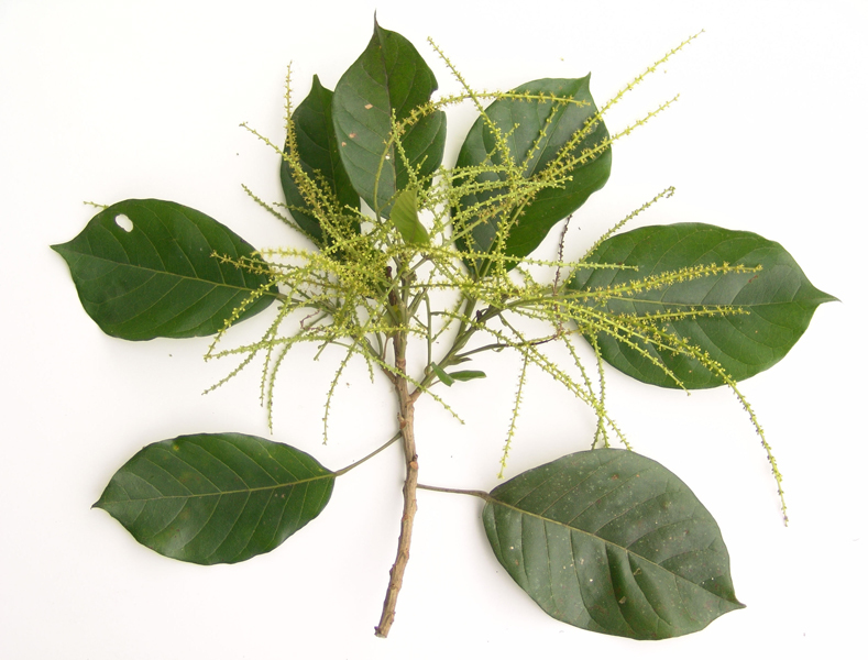 zapatero-leaf.jpg