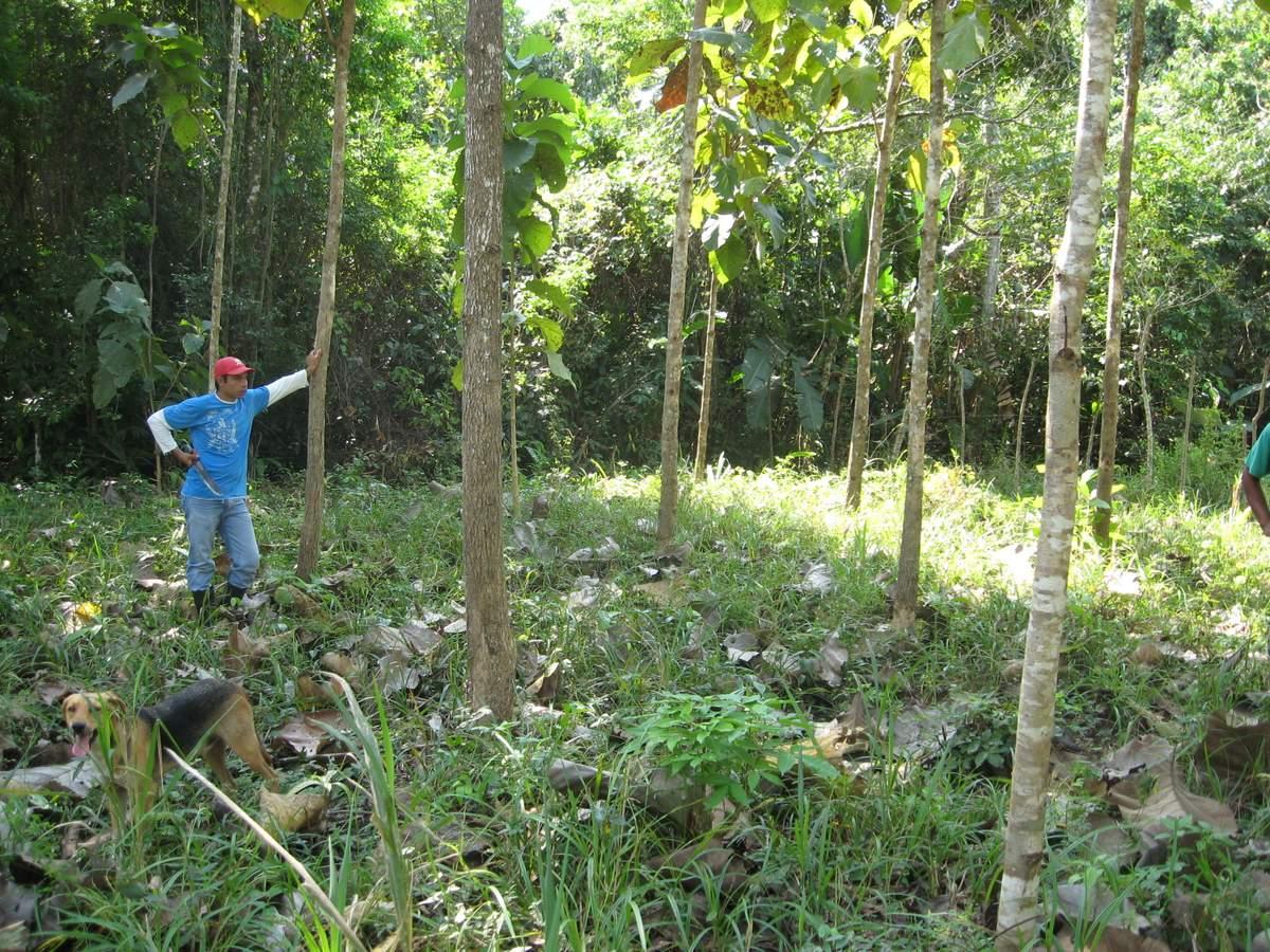"Jose ""Ino"" standing with teak and mahogany trees in Nuevo Paraiso finca #2"