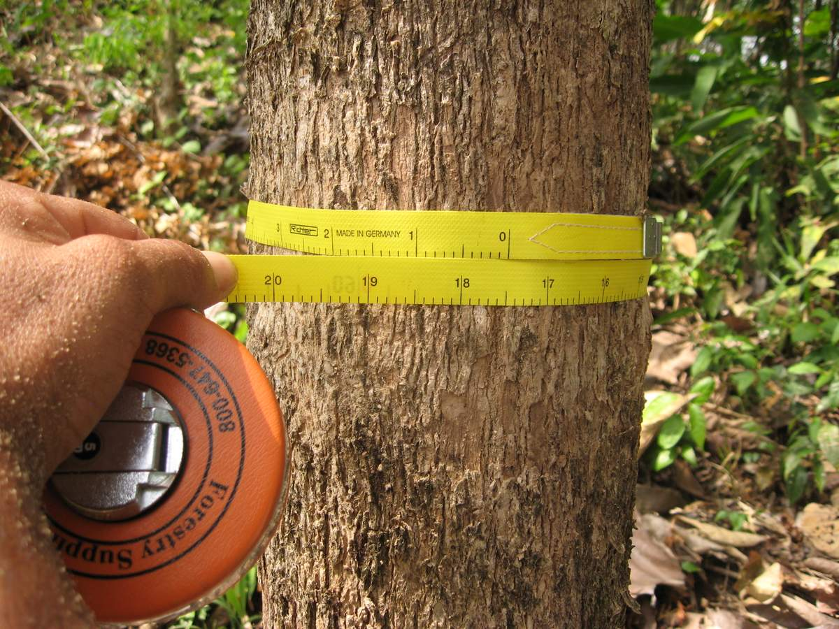 Measuring diameter growth of a six and a half year old teak tree in Nuevo Paraiso finca #1