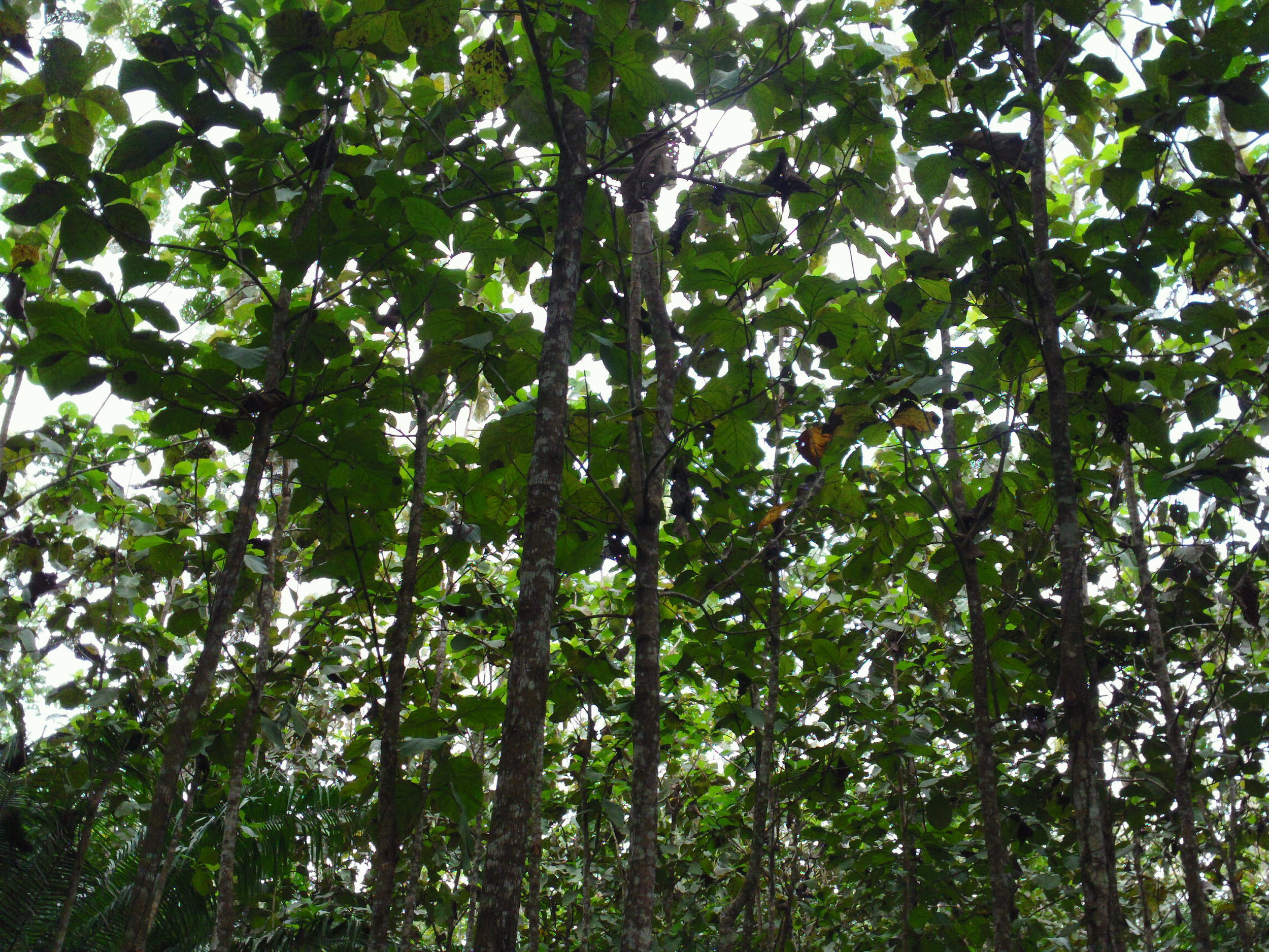 The crowns of a stand of teak trees begins to close, meaning they need to be thinned