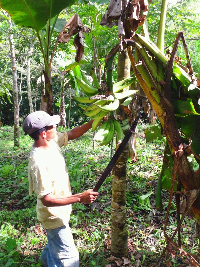 A worker harvests plantains with a machete