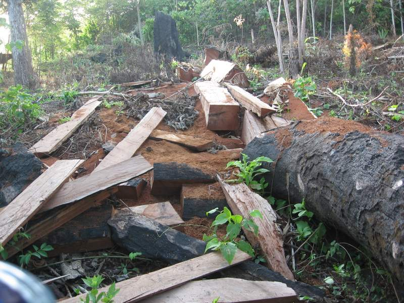 Logging of an espave tree in the Darien province