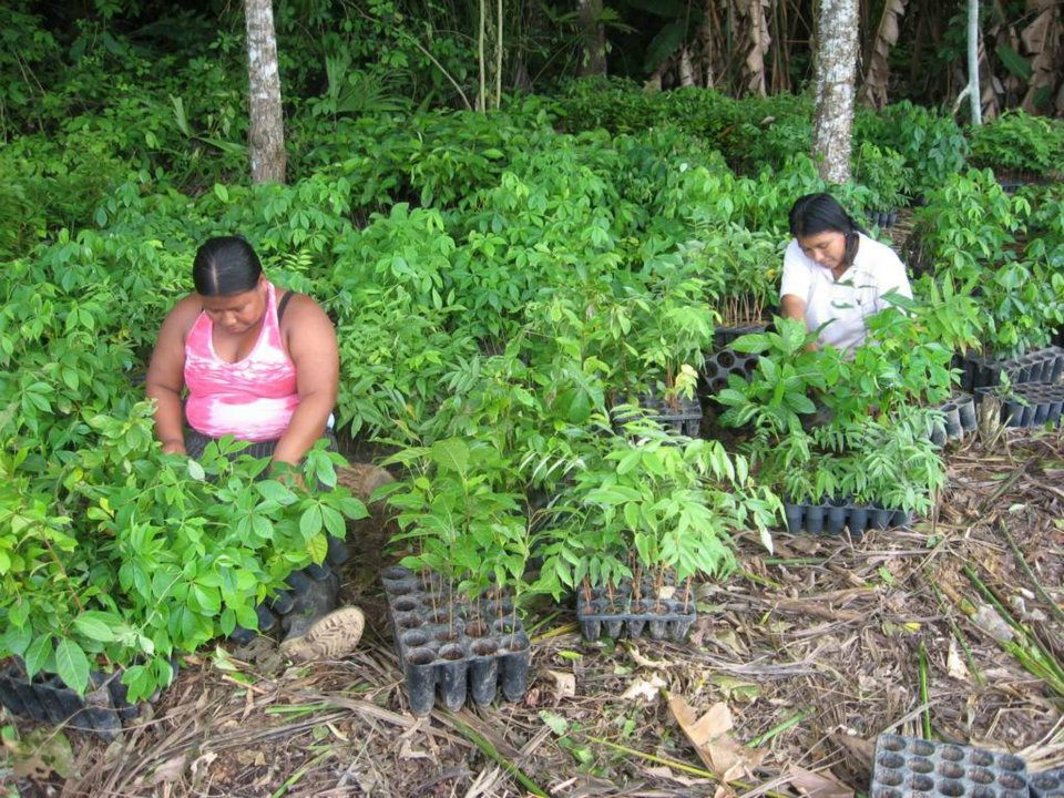 Women sorting saplings for the 2012 planting in Arimae