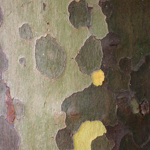 cycamore bark