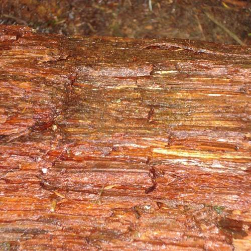 fallen fir tree