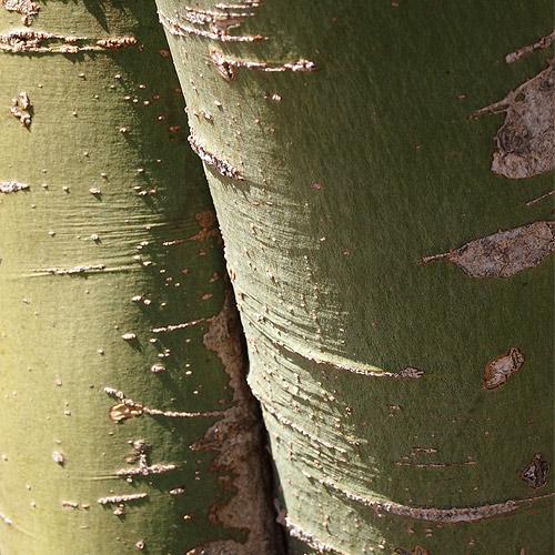desert tree bark