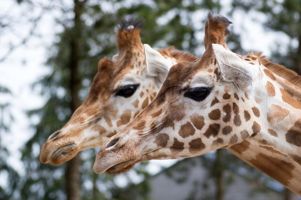 Giraffee in Zoo