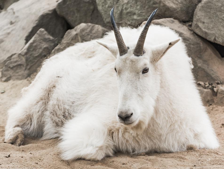 mountain-goat-972750_960_720.jpg