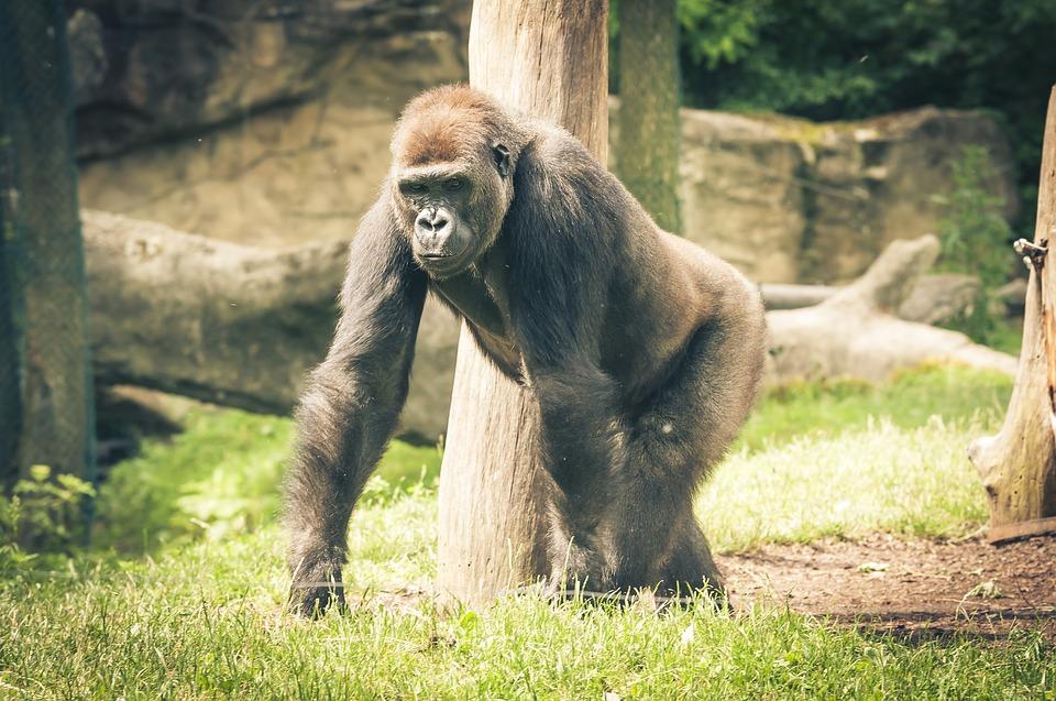 Gorilla Cheyenne Mountain Zoo