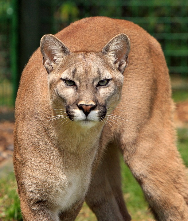 cougar-275945_960_720.jpg