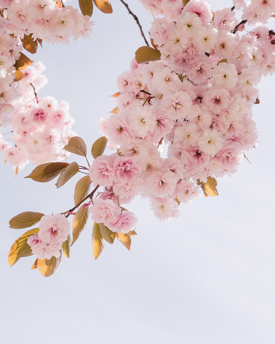Prunus serrulata  'Shirofugen', photographed on the 27th of April, 2018 at Vancouver General Hospital.