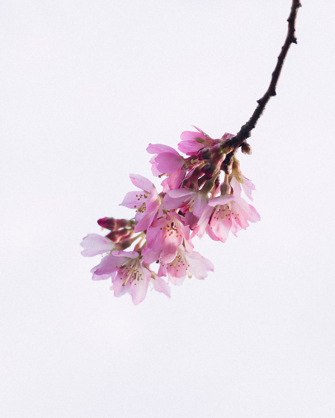 Prunus subhirtella  'Whitcomb'  Stanley Park, 13 January 2019