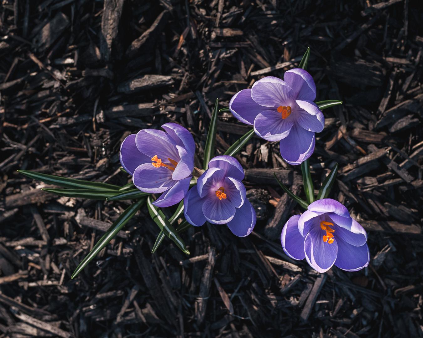 Crocus vernus  (Spring Crocus)