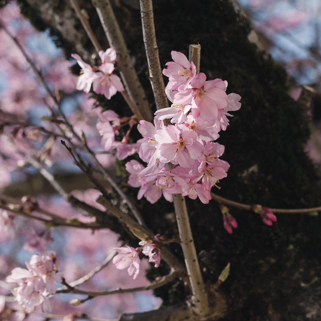 Prunus subhirtella  'Whitcomb' (Whitcomb Cherry)