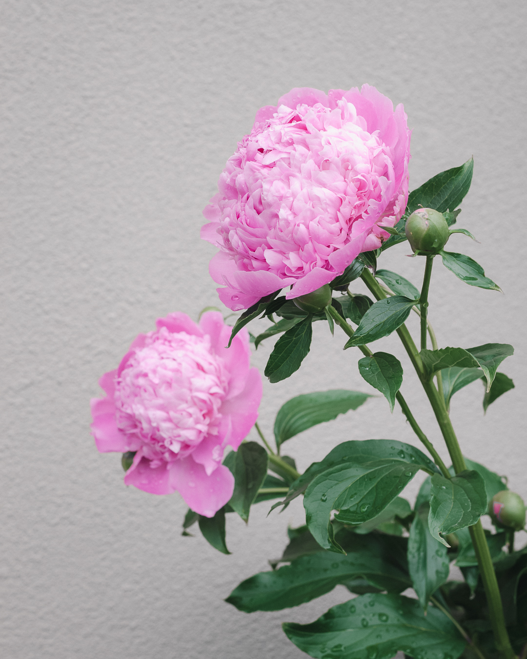 Peonies in Yumie's Garden. Photographed May 24th.