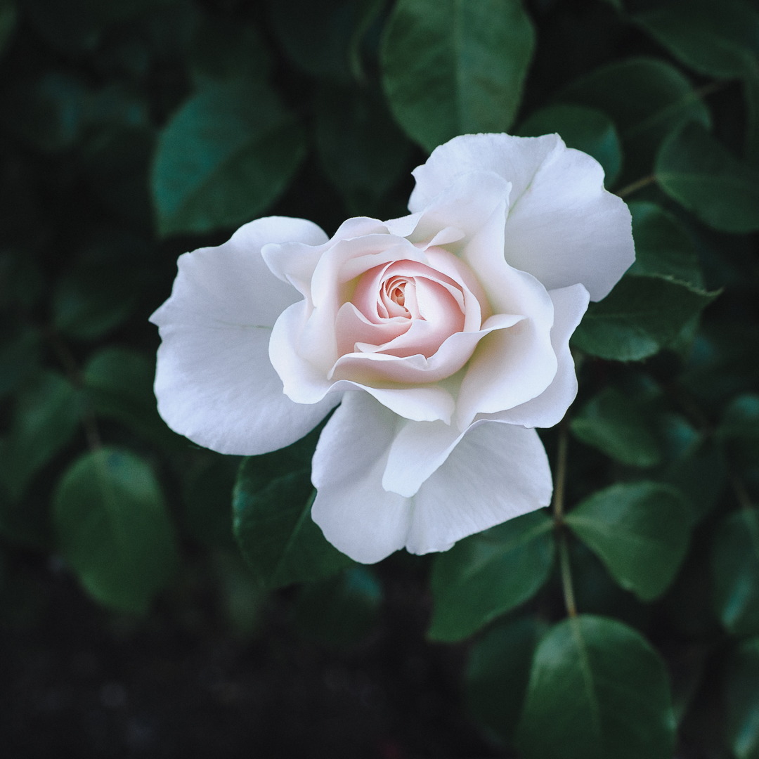 'Easy Elegance' rose in Carol's garden, May 27th, 2019.