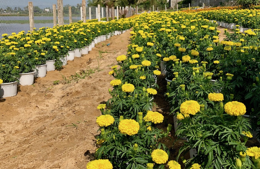 Today is also the start of Lunar New Year - which is a deadline for billions of people throughout Asia. These yellow flowers are a part of the celebration in Vietnam.