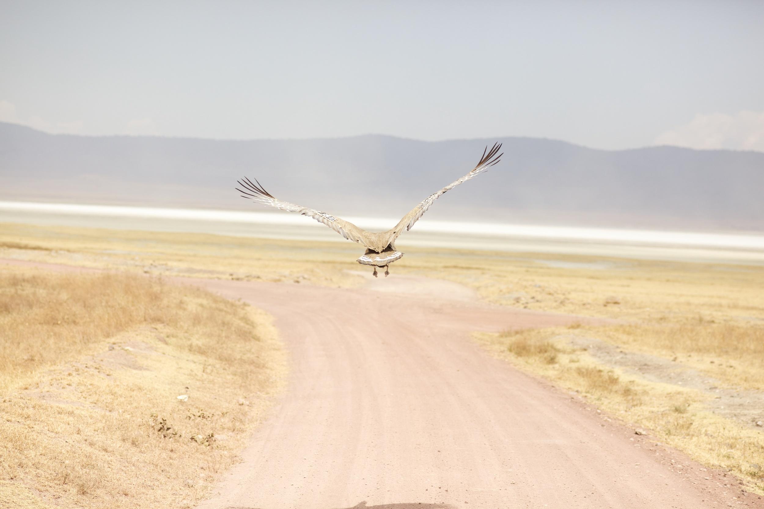Kori Bustard Bird, Tanzania