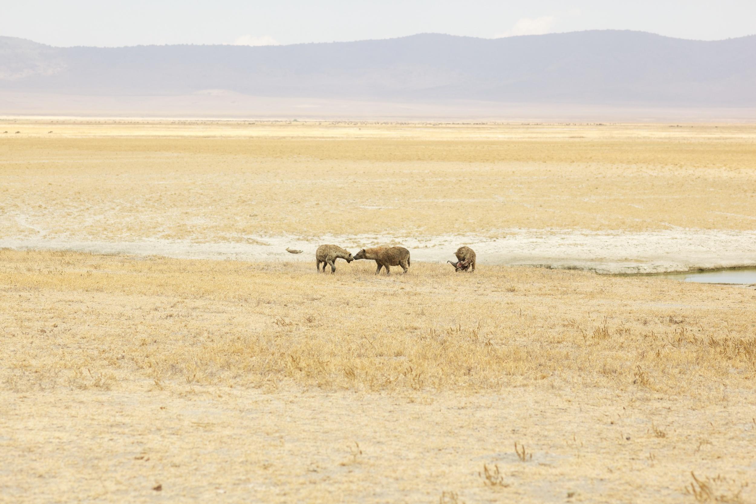 Hyena, Ngorongoro National Park