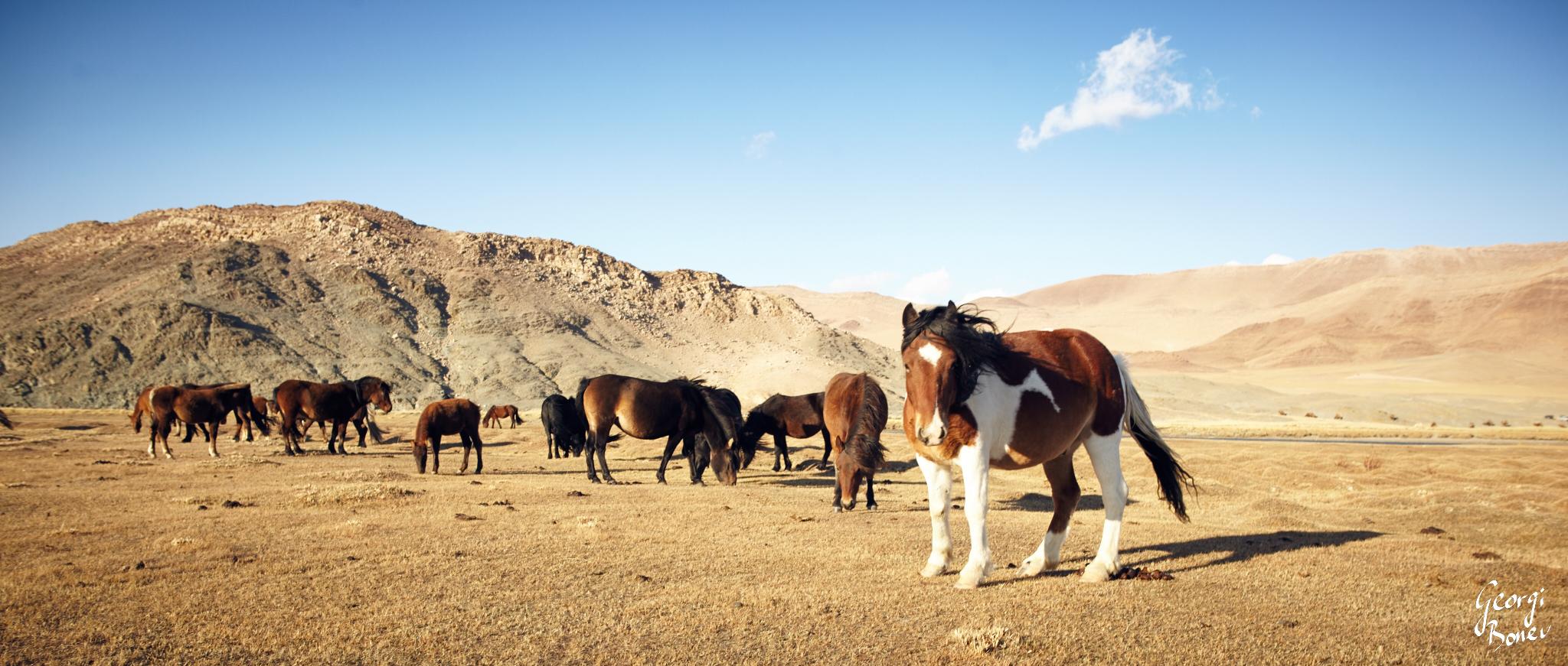 Kazakh Eagle Hunters Horses