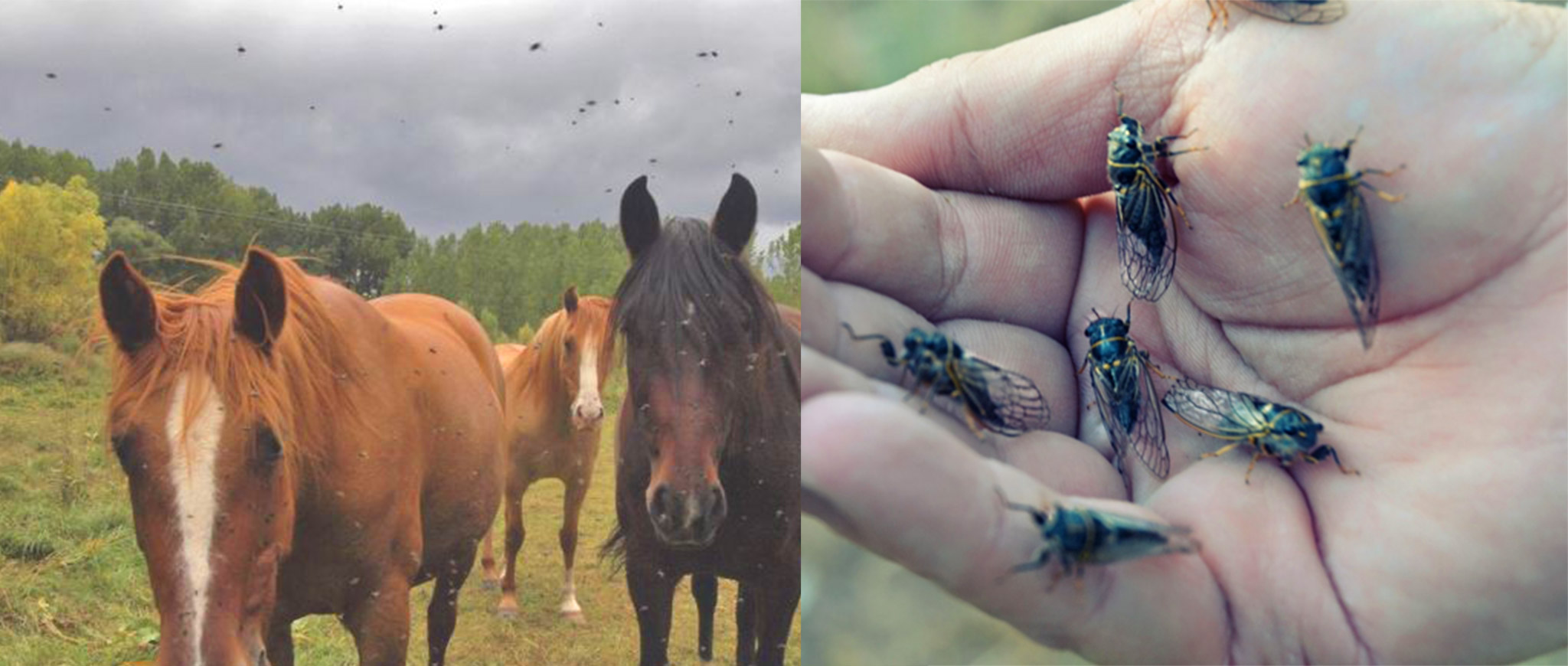 Horse flies, Image source: google