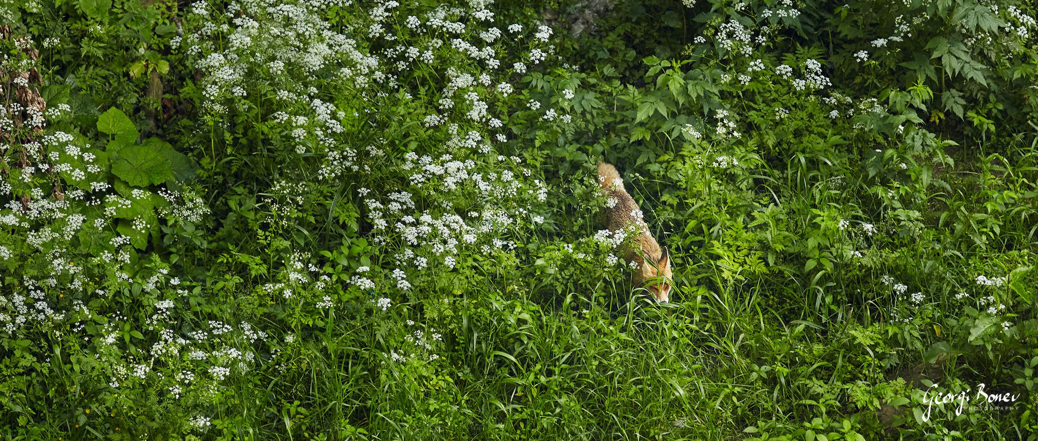 Fox in Fagaras Mountain, Romania