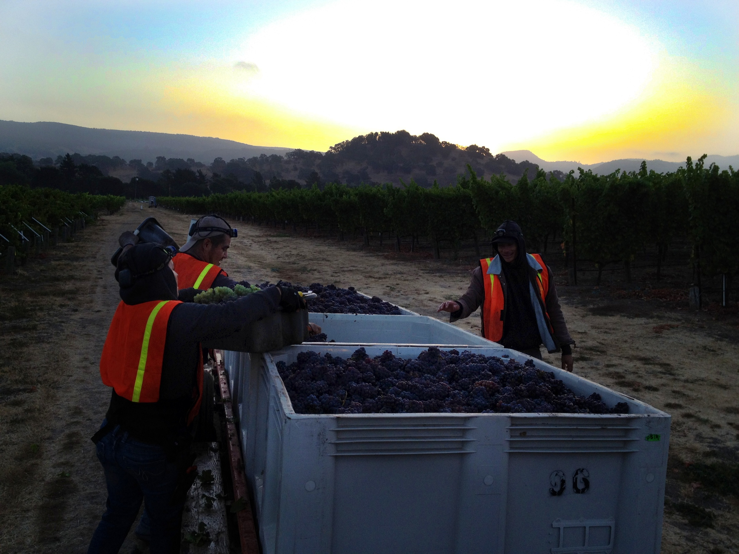 The bins are almost full of pinot gris as dawn breaks on the first day of Cornerstone Cellars harvest 2012. The vineyard is in Oakville just north of Silver Oak.