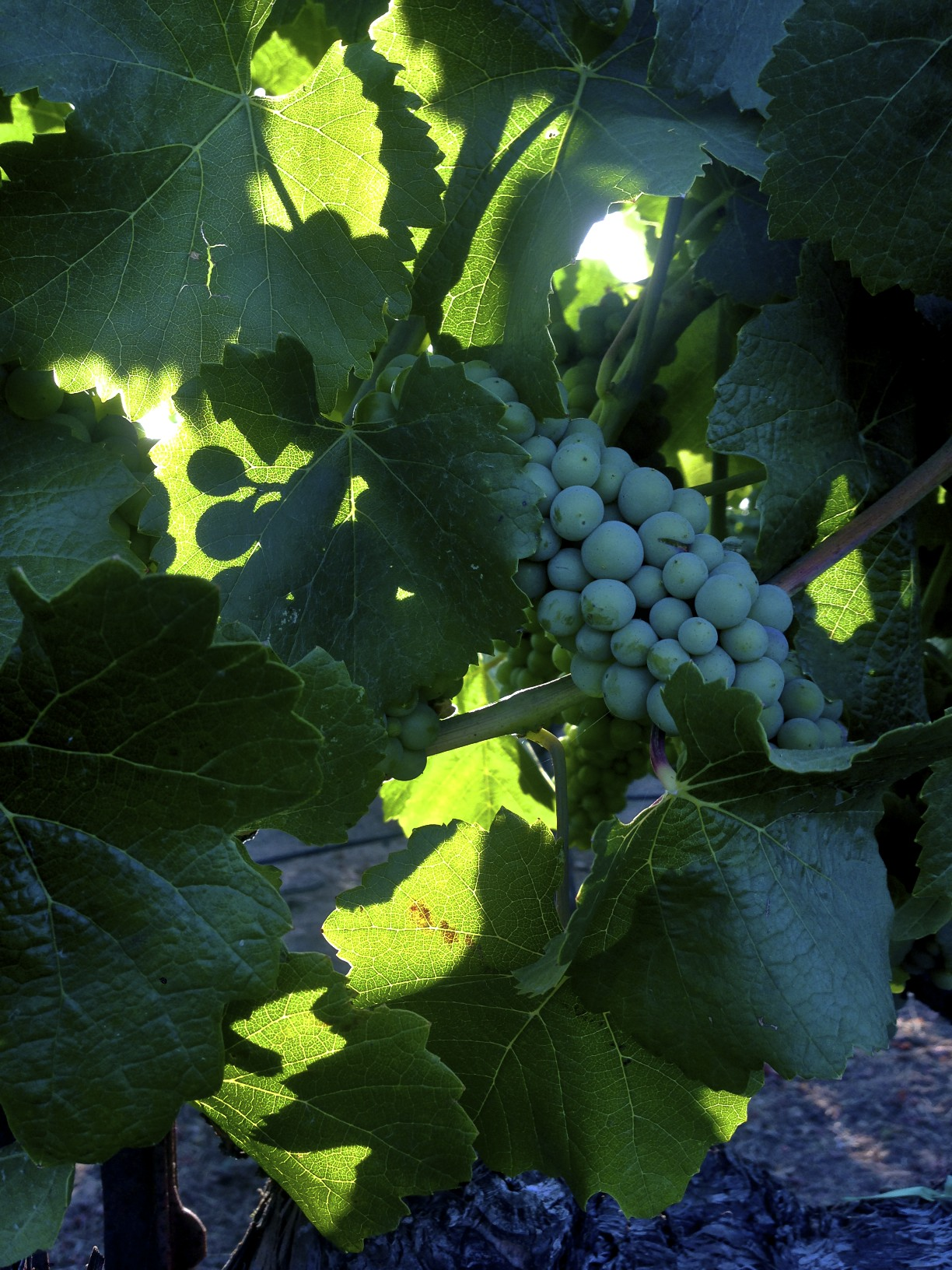 First light in vineyards, Yountville, Napa Valley 7/1/14