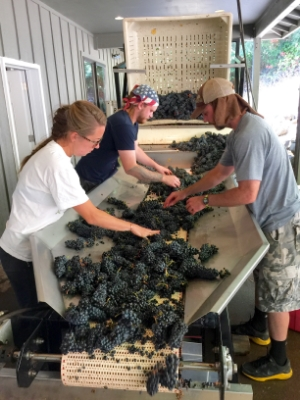 Our Oregon crew sorting pinot noir