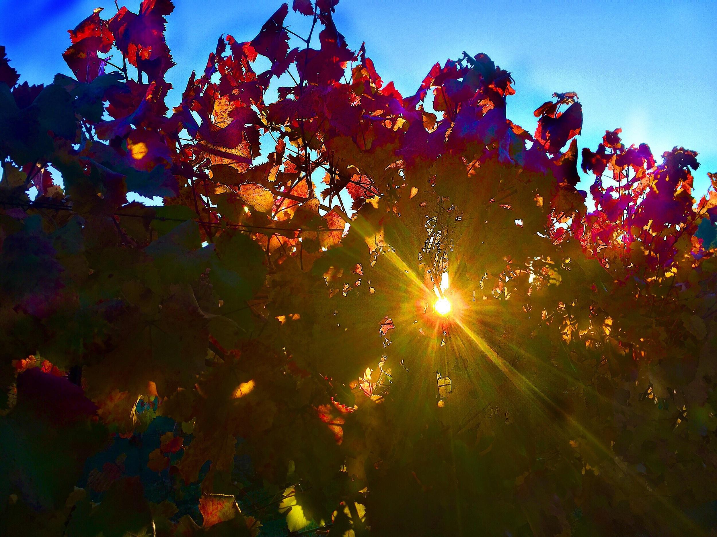 Napa Valley Cabernet Sauvignon vineyard just before Thanksgiving Yountville AVA