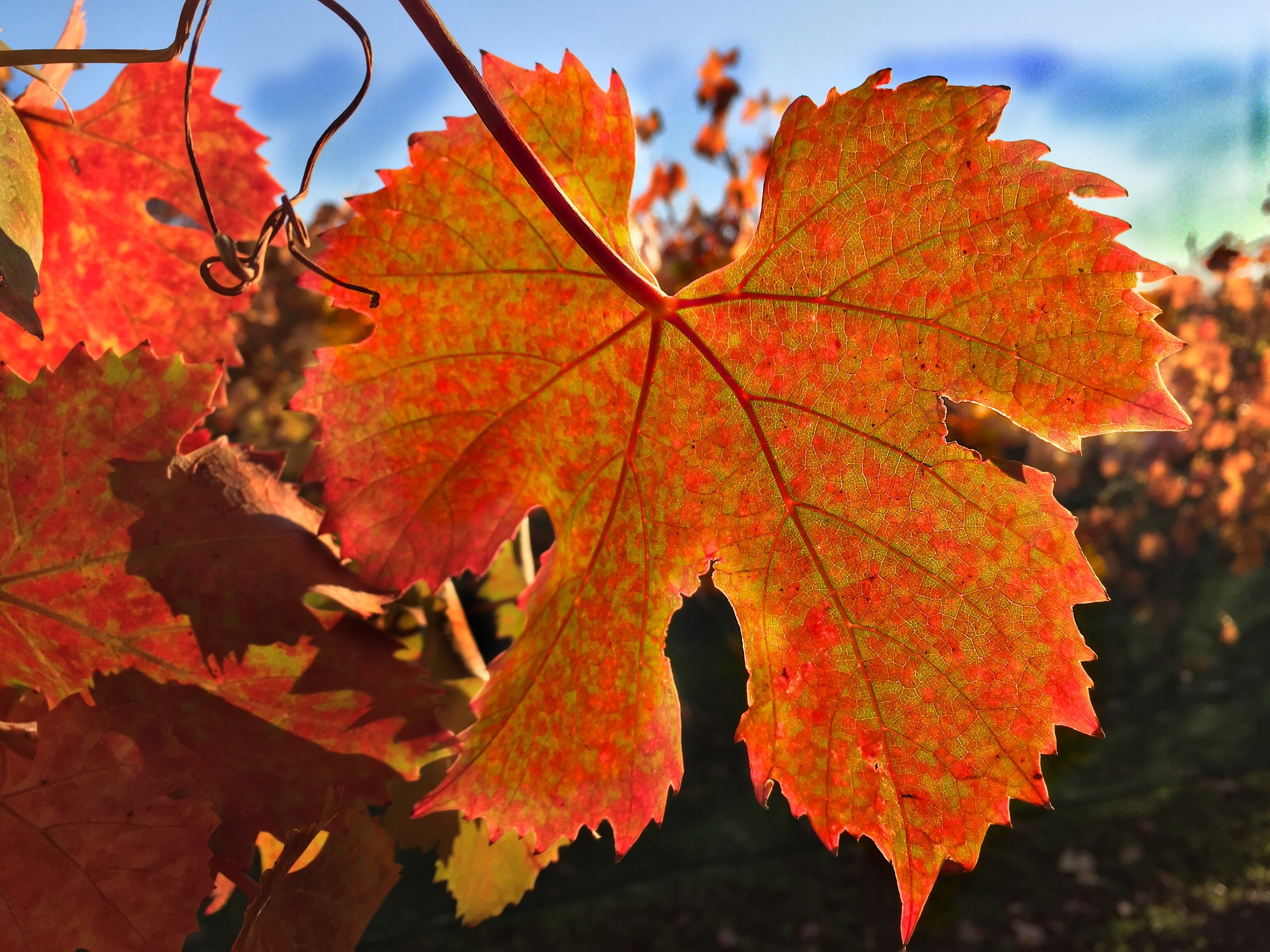 Cabernet Sauvignon leaf on Thanksgiving Day in Yountville Napa Valley