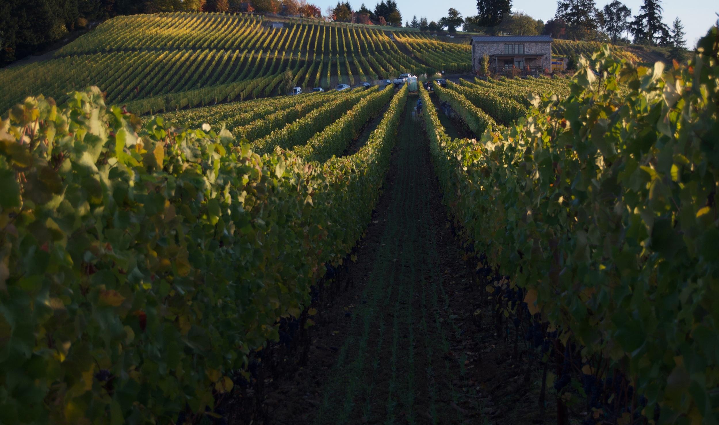Saffron Fields Vineyard Yamhill Carlton AVA Willmatte Valley Oregon