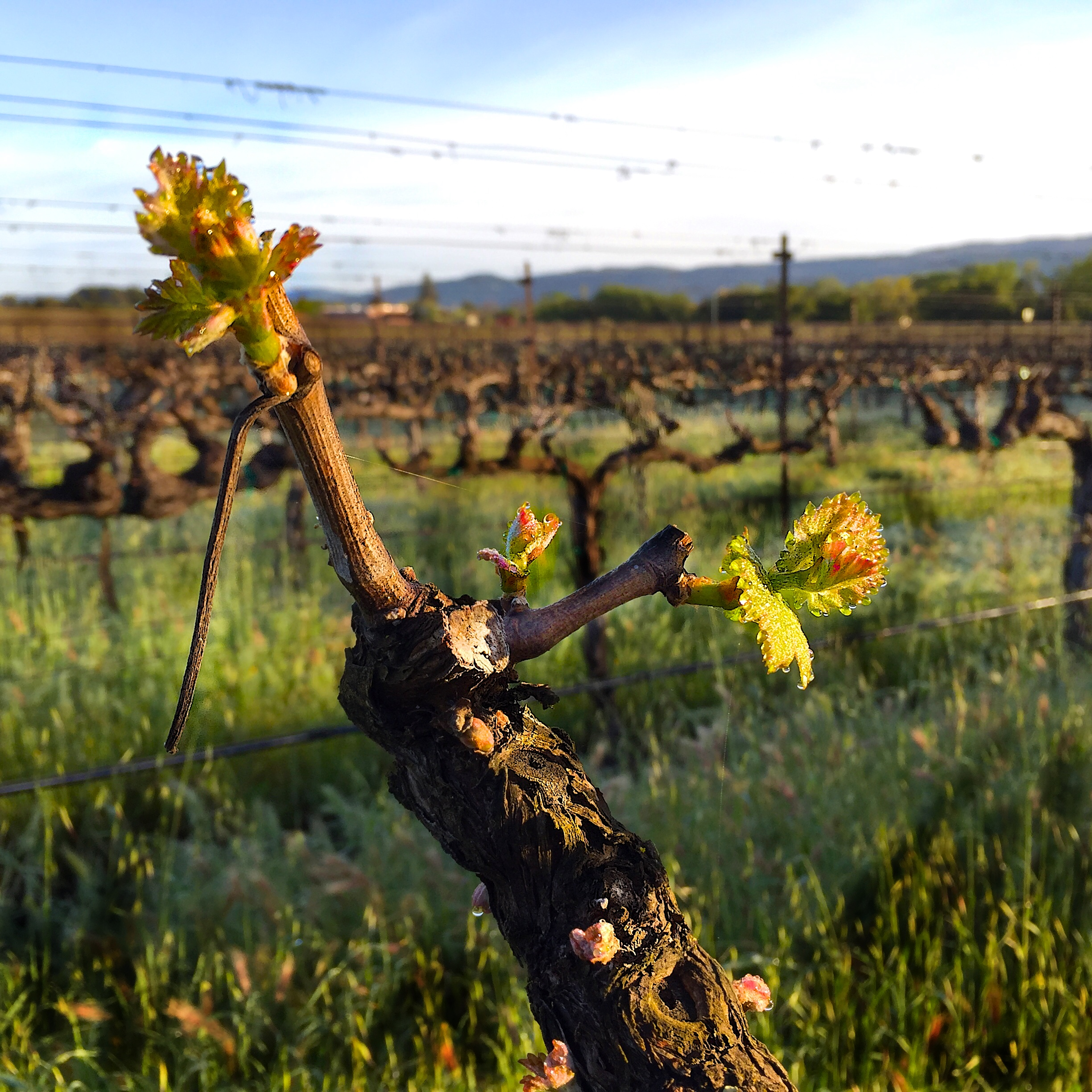 "Cabernet Sauvignon bud break in the ""cooler"" Yountville AVA on 3/26/16"