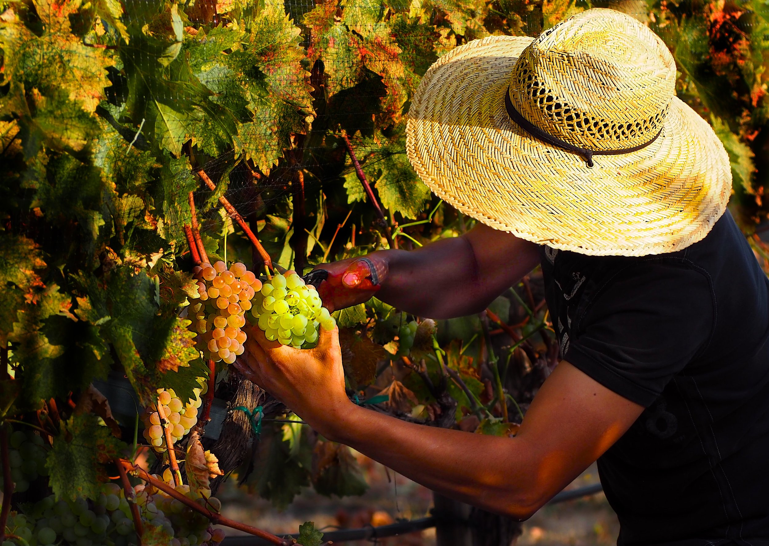 The Troon Vineyard crew picking the grapes they grew. This is Vermentino bound for Troon Black Label Vermentino after a year in barrel.