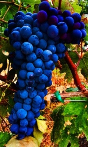 Beautifully ripe zinfandel
