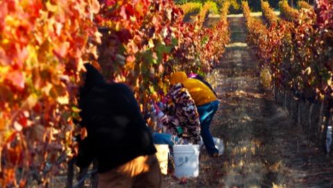 Harvesting syrah